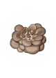 Funghi pleurotus ostreatus - Consorzio Ori di Sardegna